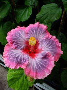 Hibiscus 'Dalen's Amy Zieng'