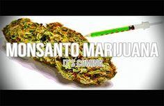 "Why Legalize Marijuana? Monsanto ""plans to launch production of genetically modified marijuana."" Searching credible sources. http://actualidad.rt.com/actualidad/view/116718-monsanto-busca-cultivar-marihuana-uruguay-ogm  www.nationofchange.org/uruguay-becomes-first-country-legalize-marijuana-trade-1399645140 http://urgente24.com/areax/2013/07/uruguay-las-sospechas-sobre-el-lobby-de-monsanto-con-la-marihuana/"