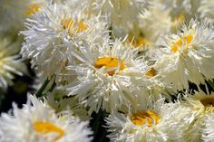 Mindful Monday: Fluffy Daisy shredded petals surround summer's center basking in warmth