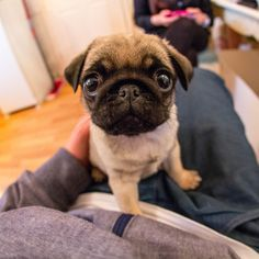 CUUUUUUUUUUTE Pug puppy#Repin By:Pinterest++ for iPad#