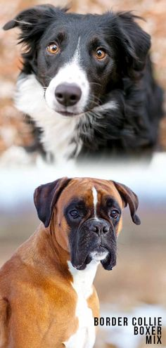 Border Collie Boxer Mix – Would a Boxollie Suit Your Family? Boxer Mix Puppies, Boxer Dogs, Herding Dogs, Purebred Dogs, Border Collie Mix, Dog Mixes, Happy Puppy, Dog Agility, Mixed Breed