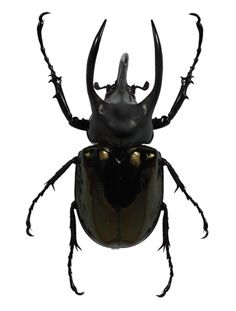 The eyes of black beetles are a common potion ingredient. Scarabs are used the most often.