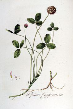 Red clover, Flora Batava, Volume 5 (1828)