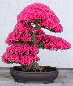 Azalea bonsaï tree