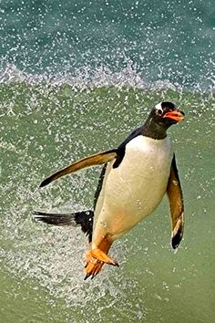 http://sonocy.com/frozen-planet-penguin  !!!walking on water!!! just a hop, skip & wheeeeeeee ~ i'm flying!!!!!
