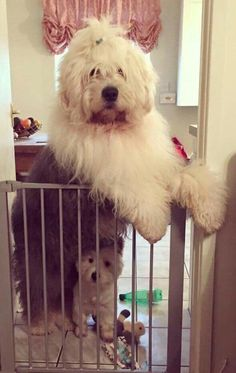 Sheepdogs Baby Dogs, Doggies, Dogs And Puppies, Sheep Dogs, Old English Sheepdog Puppy, English Dogs, Bearded Collie, Super Cute Animals, Tier Fotos