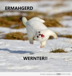 Ermahgerd Wernter! - Funny white weasel is too happy about winter jumping and making funny faces.