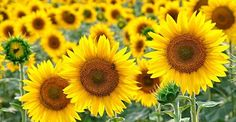 Did you know that sunflowers haven't been able to be genetically engineered? Sunflower oil along with coconut oil are great alternatives to using GMO soy, canola, corn or vegetable oil. http://organicconnectmag.com/sunflower-non-gmo-oil-dont-worry/