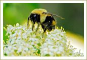 Honey Bee ~ South Dakota State Insect
