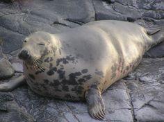 GREY seal. Cutie.