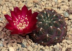 sulcorebutia pulchra aff RH0773