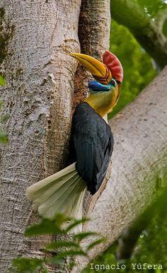 Knobbed Hornbill , Sulawesi endemic