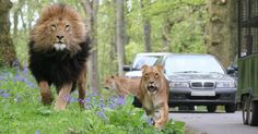 Longleat Safari Park.. But maybe not in my own car!
