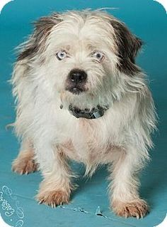 Phoenix, AZ - Terrier (Unknown Type, Small)/Shih Tzu Mix. Meet Sinatra - ice blue eyes! a Dog for AdoptionLook at those stunning ice blue eyes! Great with the other dogs in his foster home, well behaved, sweet, cuddly fun!.