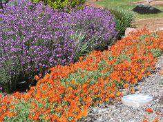Wallflower and Sunrose (Helianthemum nummalarium).