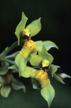 Cyrtochilum megalophium