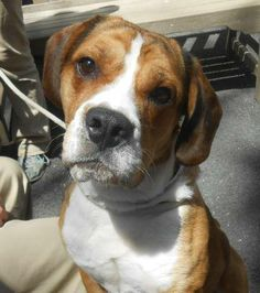 TO BE DESTROYED 05/08/14 Manhattan Center   My name is BUDDY. My Animal ID # is A0995511. I am a male brown and white beagle and bulldog mix. The shelter thinks I am about 2 YEARS old.  I came in the shelter as a RETURN on 04/17/2014 from NY 10030, owner surrender reason stated was BITEPEOPLE. https://www.facebook.com/photo.php?fbid=799632523382962&set=a.611290788883804.1073741851.152876678058553&type=3&theater