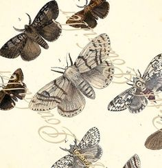 Moths 1872 Rev F.O. Morris Hand Colored Victorian Engraving, Pl 12