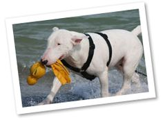 The Bull Terrier can be bull-headed at times but loves to play and show affection. They have high energy and get along wonderfully with children.