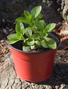 Stevia  la planta con más propiedades beneficiosas.