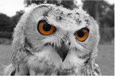 ... color, because owls have such wonderfully mysterious and hypnotic eyes