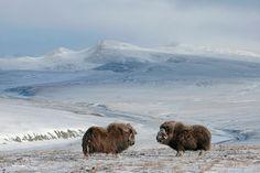 Wrangel-Island-Russia-Wildlife-Photos - Desolate-Musk-Ox