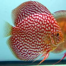 Cannot Live without my tank full of Discus Fish :)
