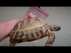 I have seen numerous suggestions for Russian tortoise diet Some great Some awful. Russian Tortoises are nibblers and appreciate broad leaf plants. The best Horsefield Tortoise, Tortoise Habitat, Tortoise Care, Tortoise House, Russian Tortoise, Tortoises, Amphibians, Reptiles, Pet Care