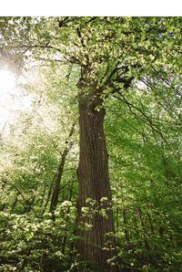 Methusalem Linde - Als Methusalembäume werden Bäume ab einem Durchmesser von etwa 100 Zentimetern bezeichnet. Sie dürfen ihren Lebensabend in aller Ruhe im Wald verbringen und dienen vielen Arten als Lebensraum.