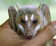 striped face fruit bat; new species found