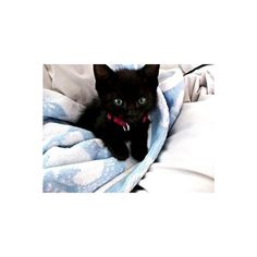 Cats are among the most popular house pets, giving years of love and enjoyment to their owners. But they also require special care. Check out these simple cat-care tips. Newborn Kittens, Baby Kittens, Kittens Cutest, Cats And Kittens, I Love Cats, Crazy Cats, Cute Cats, Cute Black Kitten, Black Cats