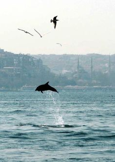 Dolphins and Istanbul - two of my favorite things! Bronze Age Civilization, Puppy Backpack, Visit Istanbul, Chocolate Lab Puppies, Istanbul Turkey, Cappadocia Turkey, Turkey Travel, Most Beautiful Cities, Animal Faces