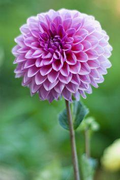 flor de tonos lilas