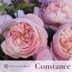 David Austin roses CONSTANCE...