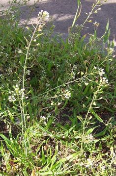 Shepherd's Purse seed stalk Common weeds and what they tell you about your soil.