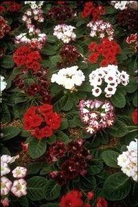 Pase Seeds - Gloxinia Sinningia Giant Hybrids Annual Seeds, $3.49 (http://www.paseseeds.com/gloxinia-sinningia-giant-hybrids-annual-seeds/)