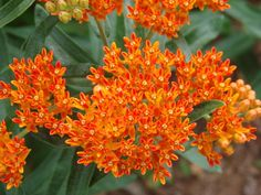 Butterfly weed and lantana are used in xeriscape gardening to attract bees, butterflies or hummingbirds. These drought tolerant plants are food sources for pollinators.