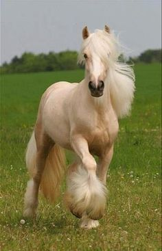 Beautiful young palomino Vanner!