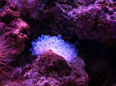 One of my first lps coral in my salt water tank