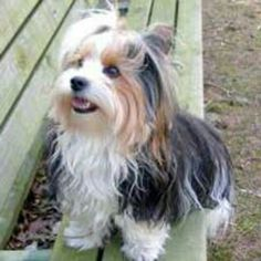 """Discover additional details on """"yorkshire terriers"""". Look into our internet site. Puppies Tips, Cute Puppies, Cute Dogs, Dogs And Puppies, Biewer Yorkie, Yorkies, Yorkie Haircuts, Cat Urine, Dog Pictures"""