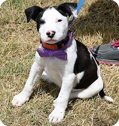 Pluckemin, NJ - American Staffordshire Terrier/Labrador Retriever Mix. Meet Rooster, a puppy for adoption. http://www.adoptapet.com/pet/18499124-pluckemin-new-jersey-american-staffordshire-terrier-mix