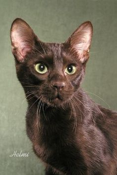 Fun fact: the Havana brown cat is the only all-brown cat breed. Learn more interesting tidbits about this affectionate, rare breed. Warrior Cats, Pretty Cats, Beautiful Cats, I Love Cats, Cute Cats, Havana Cat, Chocolate Cat, Cats Outside, Cute Kittens