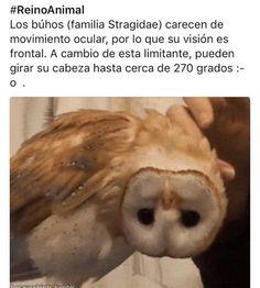 Los búhos (familia Stragidae) carecen de movimiento ocular, por lo que su visión es frontal. A cambio de esta limitante, pueden girar su cabeza hasta cerca de 270 grados