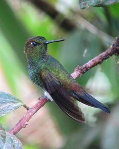 Hummingbirds, Birds 2, Bird Species, Wren, Swallow, Animals, Jewels, Beautiful, Friends