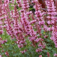 Forms a low, bushy mound bearing upright spikes of light-pink flowers that attract both hummingbirds and butterflies. Great in containers or in a mixed border.   Must have excellent drainage, particularly during winter otherwise plants may rot and not survive. Attracts Butterflies and Hummingbirds  Deer and rabbit resistant  Planting instructions included with purchase  Height 20 - 23 inches Full sun  25 seeds in package CANNOT SHIP TO FOLLOWING STATES IN USA - FLORIDA, GEORGIA, ALABAMA…