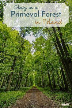 Bialoweiza Primeval Forest | Visit Poland | Travel Poland | Where to Stay Poland | Polish Forest #Poland #Travel