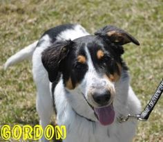 GORDON. Animal ID: 22412885Species: Dog Breed: Border Collie/Mix Age: 10 months 6 days Sex: Male Size: Medium Color: Black/Tan Spayed/Neutered: YesDeclawed: No Housetrained: Unknown Site: Hamilton/Burlington SPCA Location: Dog Adoption Kennels Intake Date: 4/8/2014 Adoption Price: Not available.  -----Hamilton Humane Society, Ontario, Canada. ------https://hbspca.com/adopt/dog/gordon/22412885/