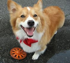 Corgi with red bow tie