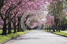 Pink Blossom Tree Road - Download From Over 26 Million High Quality Stock Photos, Images, Vectors. Sign up for FREE today. Image: 42891861