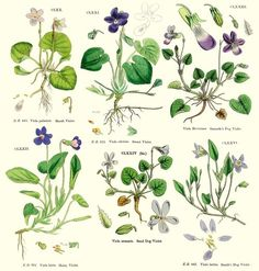 Botannical Illustration Violets